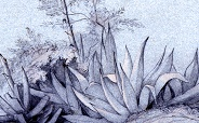 Damour Flowering Agave 184x114